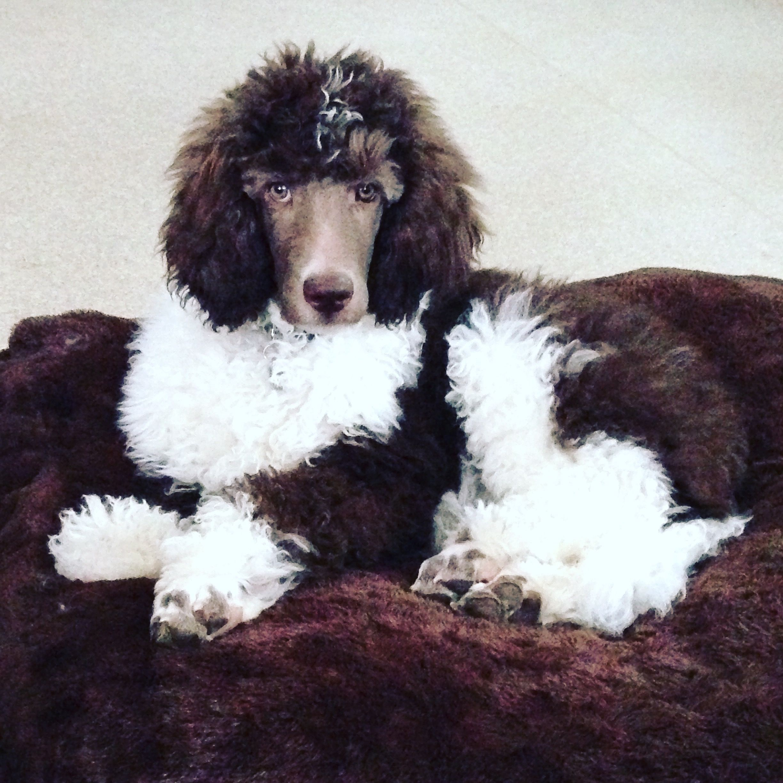 Brown White Tuxedo Parti Poodle Mizzelle S Standard Poodles