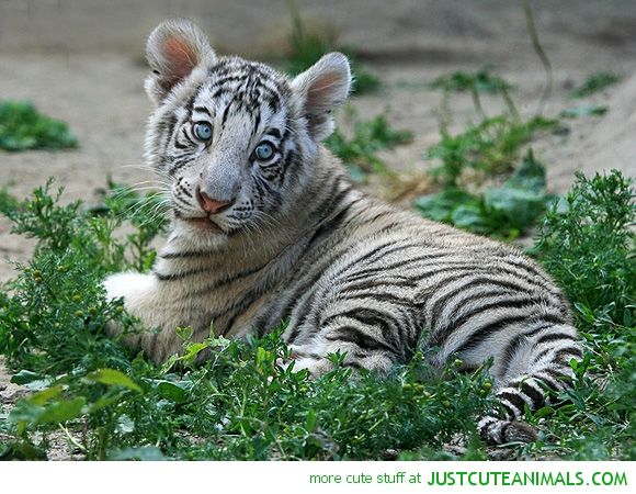 baby white tiger animals pinterest baby tigers animals and