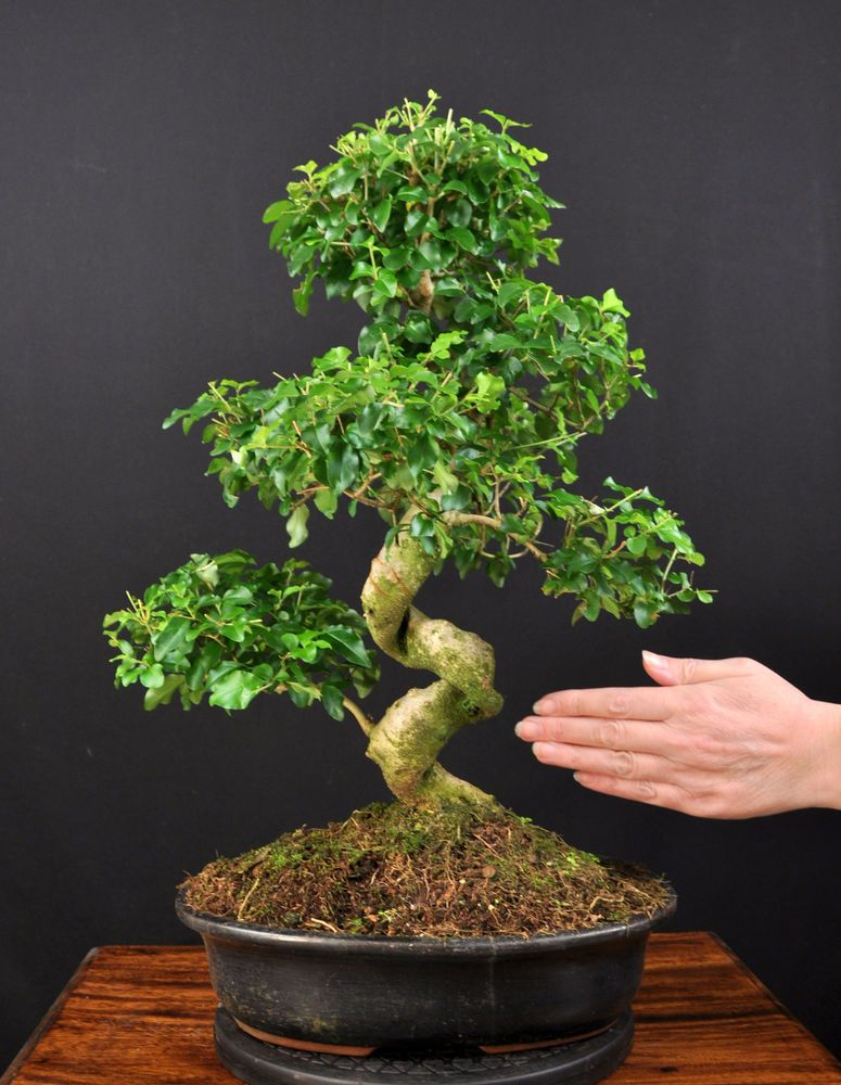 bonsai chinesischer liguster ligustrum sinensis indoor gross baum pflegeleicht traditional. Black Bedroom Furniture Sets. Home Design Ideas