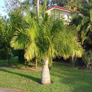 Palm tree guide with illustrations of different types of palm trees outdoor palm florida for A gardener is planting two types of trees