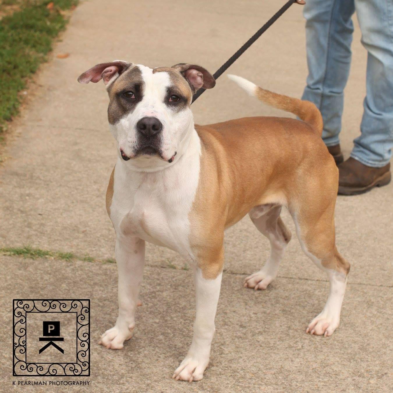American Bulldog dog for Adoption in Fredericksburg, VA