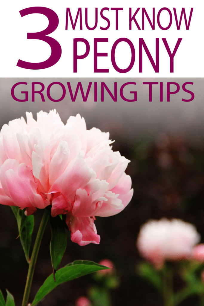 3 MUST Know Tips to Grow Peonies is part of Peonies garden, Growing peonies, Beautiful flowers garden, Planting peonies, Flower garden design, Garden landscaping - There are several important steps to planting and maintaining successful peonies,click to read these 3 peonie tips to learn how to have gorgeous flowers
