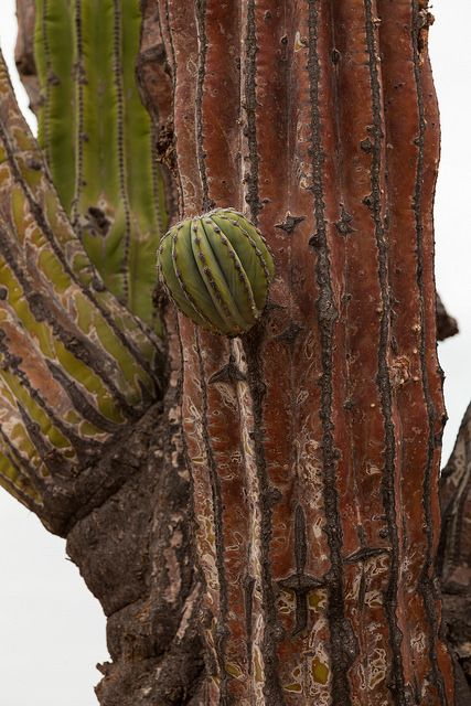 Cardón (Pachycereus pringlei), Sonoran Desert - Baja California, Mexico