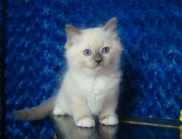 Love Ragdolls Kaden Blue Mitted Male Ragdoll Ragdoll Kitten For Sale Ragdoll Cat Ragdoll Kittens For Sale Kittens Cutest Baby