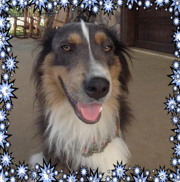 Adopt Arnie Adopted On Collie Rescue Adoption Dogs