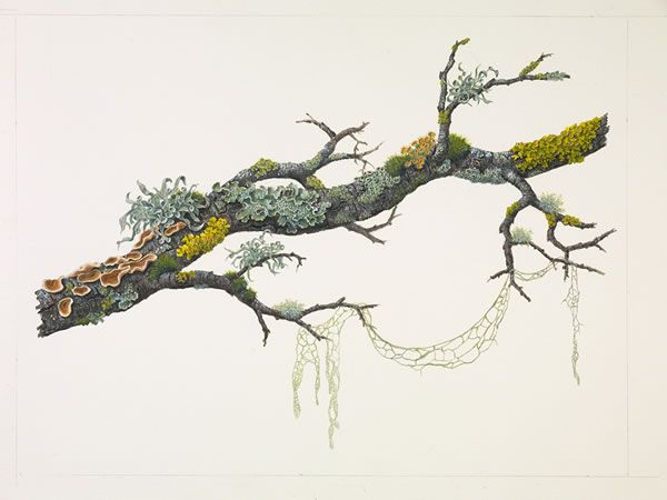 Photo of OtherPaintings / Sml Oak Branch w/Fungi & Lichens