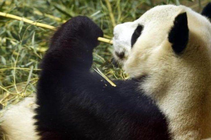 Murió el oso panda más viejo del mundo