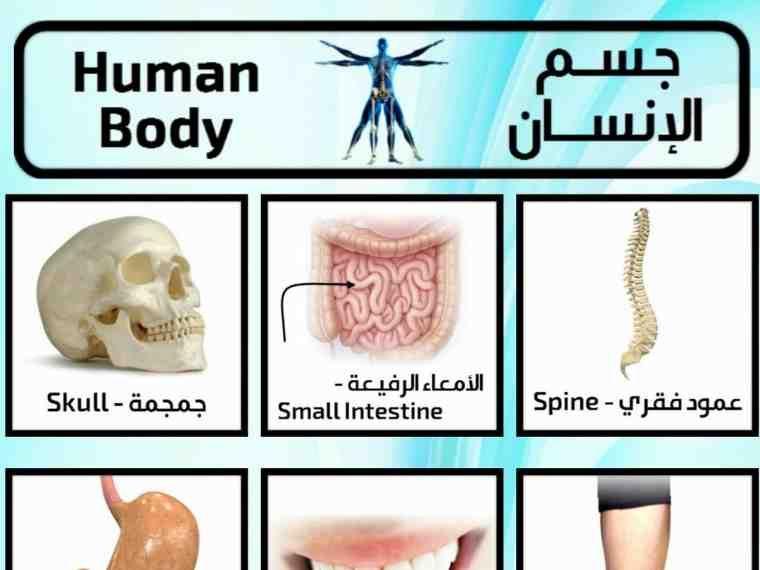 تعلم اسماء اعضاء جسم الإنسان باللغة الانجليزية وبالصور صورة ١ Gallery Wall Body Frame