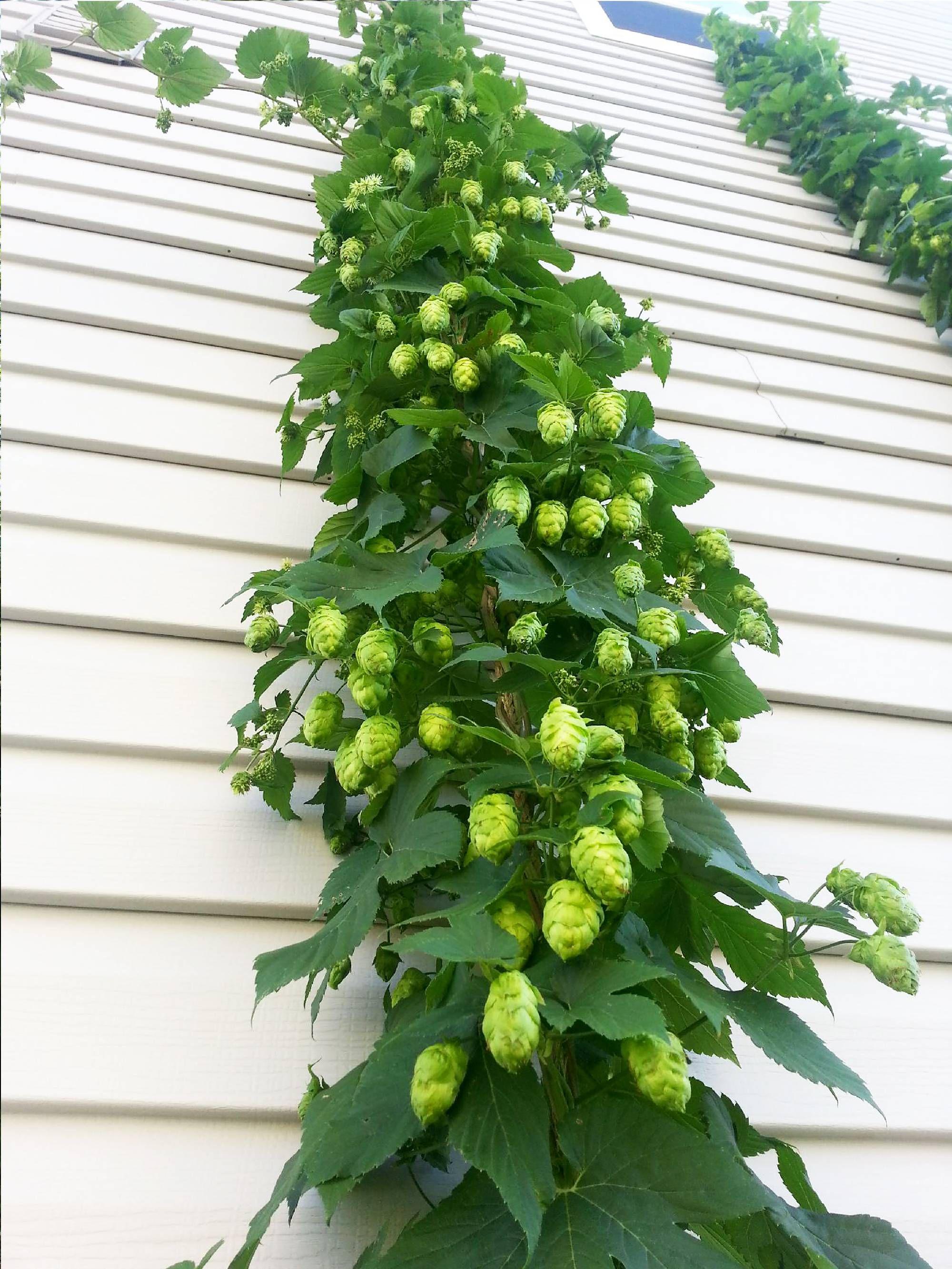 How to grow, harvest & dry hops Hops vine, Garden