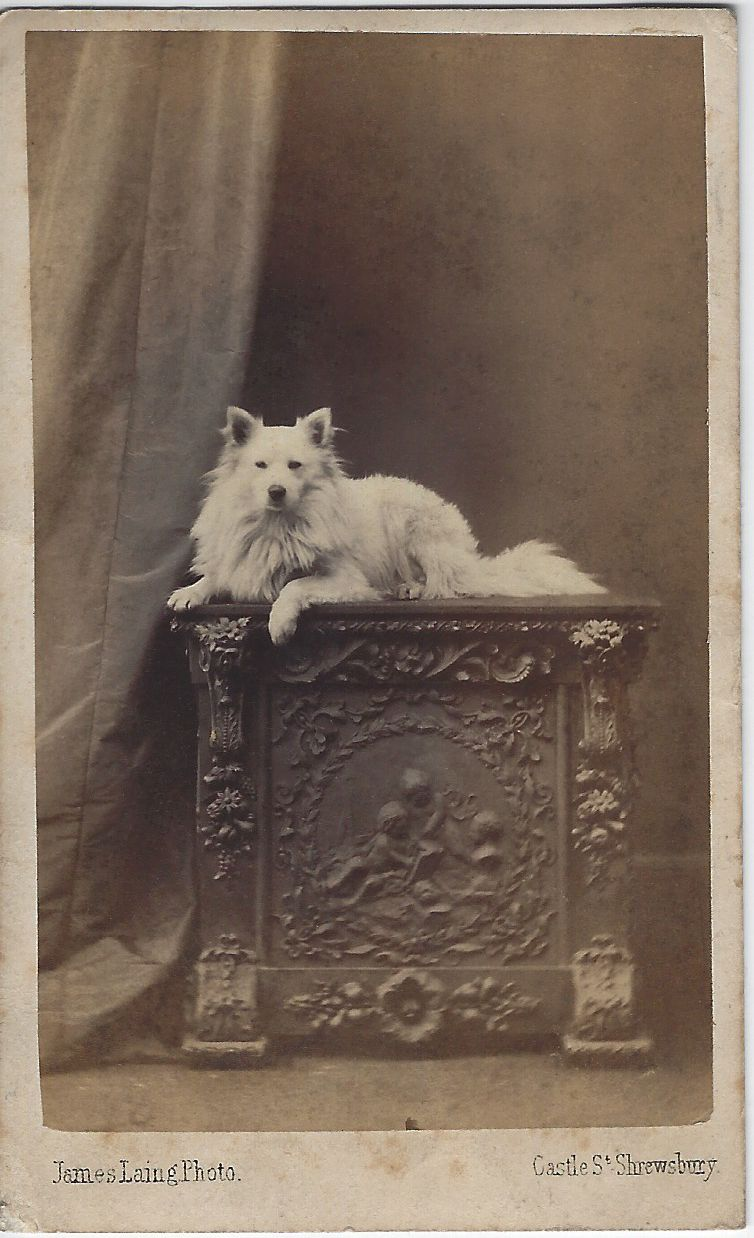 C 1860s Cdv Of White Spitz Photo By James Laing Castle St Shrewsbury From Bendale Collection Antique Pictures Vintage Photography Vintage Photographs