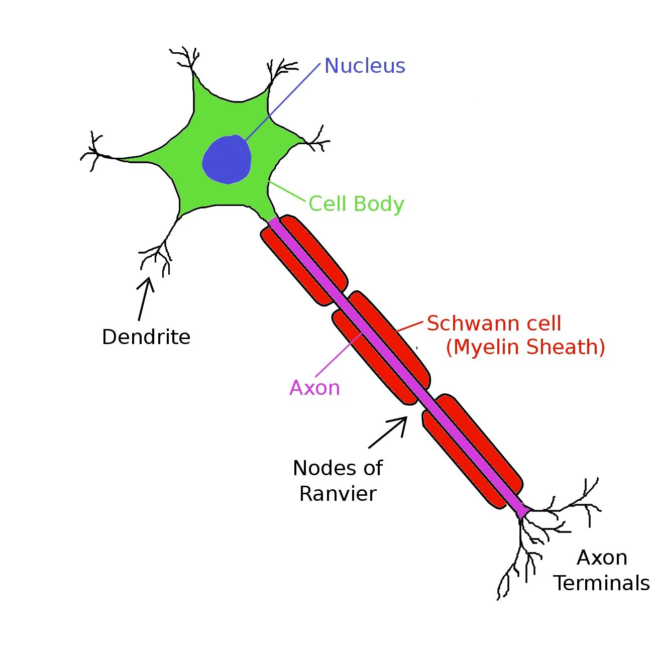 basic neuron diagram 99 chevy tahoe wiring of motor neurone impremedia