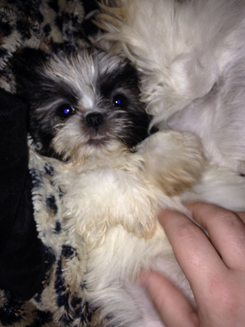 One Of My Adorable Shih Tzu Puppies I Have For Sale In Ct Email Poeticromanticbuddist Gmail Com Shih Tzu Puppy Shih Tzu Puppies