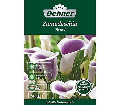 Dehner Premium Blumenzwiebel Zantedeschia Picasso Pflanzen Pflege Zantedeschien Blumenzwiebeln