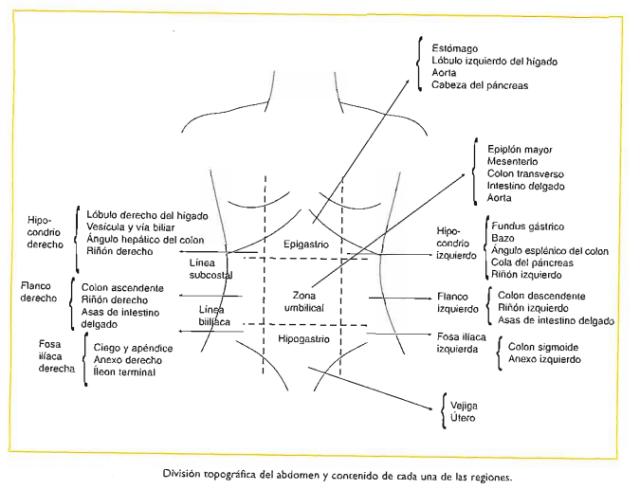 que organos se encuentran en el flanco derecho e izquierdo