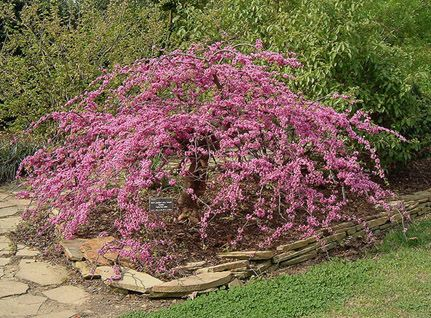 Traveller A Unique Weeping Texas Redbud With Images Plants