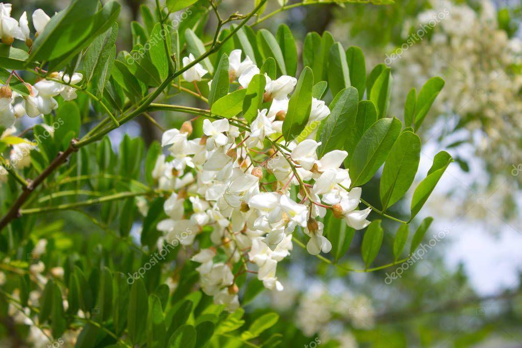 White Acacia Blossoms Acacia Tree Close Stock Photo Sponsored Blossoms Acacia White Tree Ad In 2020 Acacia Tree Blossom Flowers