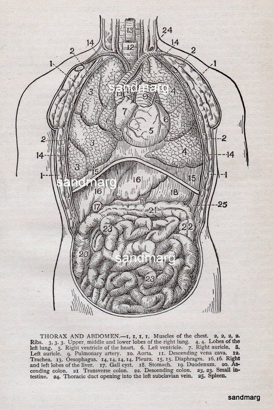 1912 Human Anatomy Thorax Heart and Abdomen | Medical | Pinterest ...
