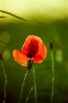 Poppy flower   Photographer: Andreas Kermann