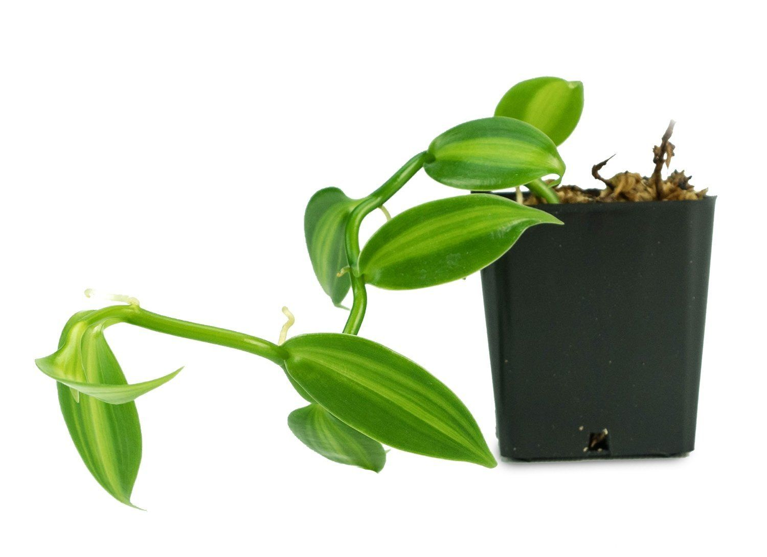 Vanilla bean plant is the most common vanilla using as a home plant