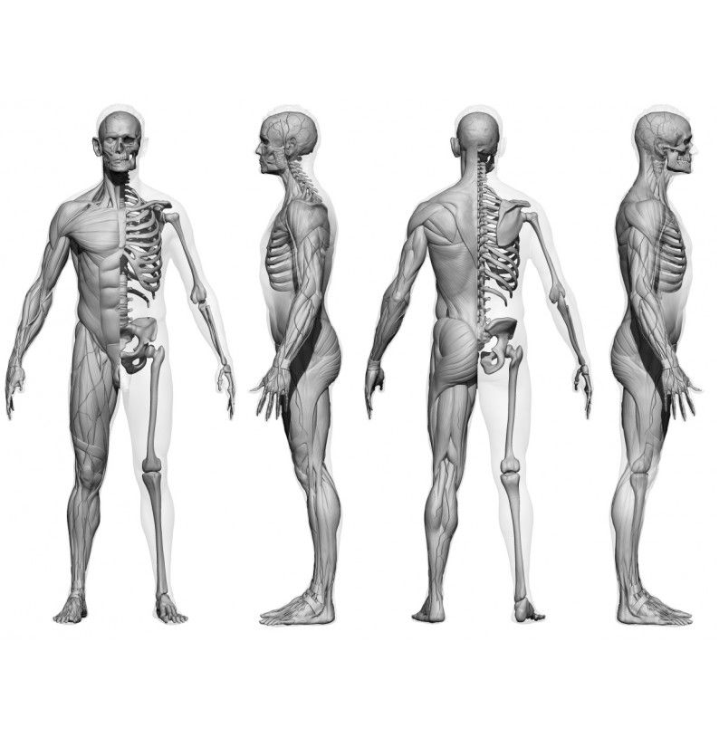 Male And Female écorché Bundle Zbrush Anatomy Body Anatomy Anatomy Bones