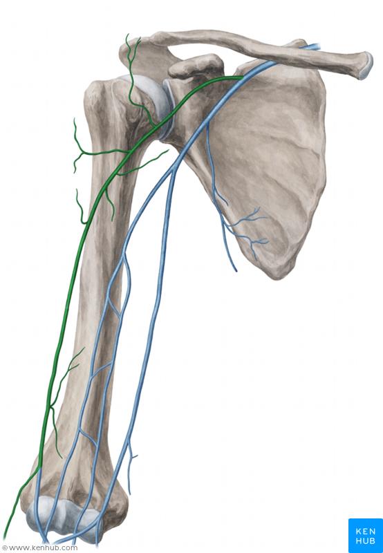 Cephalic vein | Muscle, Vein, Artery, Nerve | Pinterest
