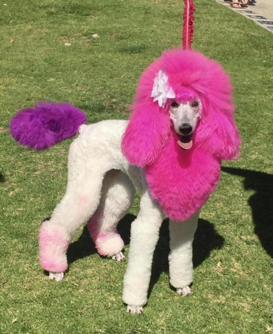 Standard Poodle Parade In San Diego Poodle Poodle Hair