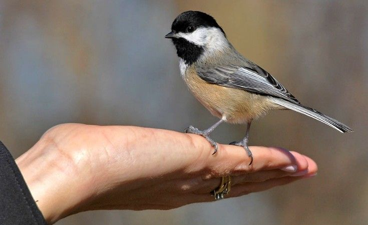 Black-Capped Chickadee: Bold Backyard Birds of North ...