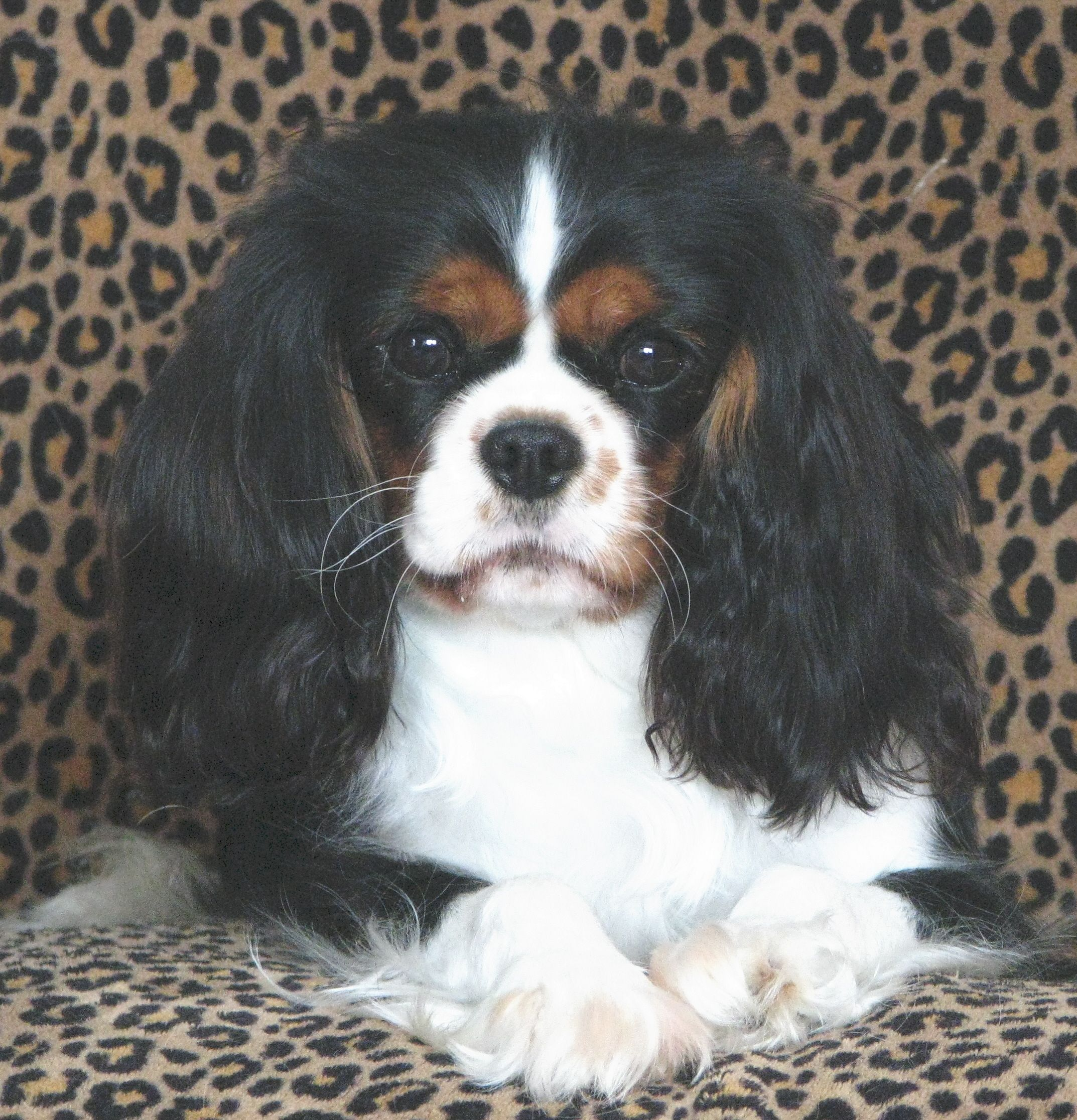 Beautiful Just Beautiful Cavalier King Charles King Charles Cavalier Spaniel Puppy King Charles Spaniel