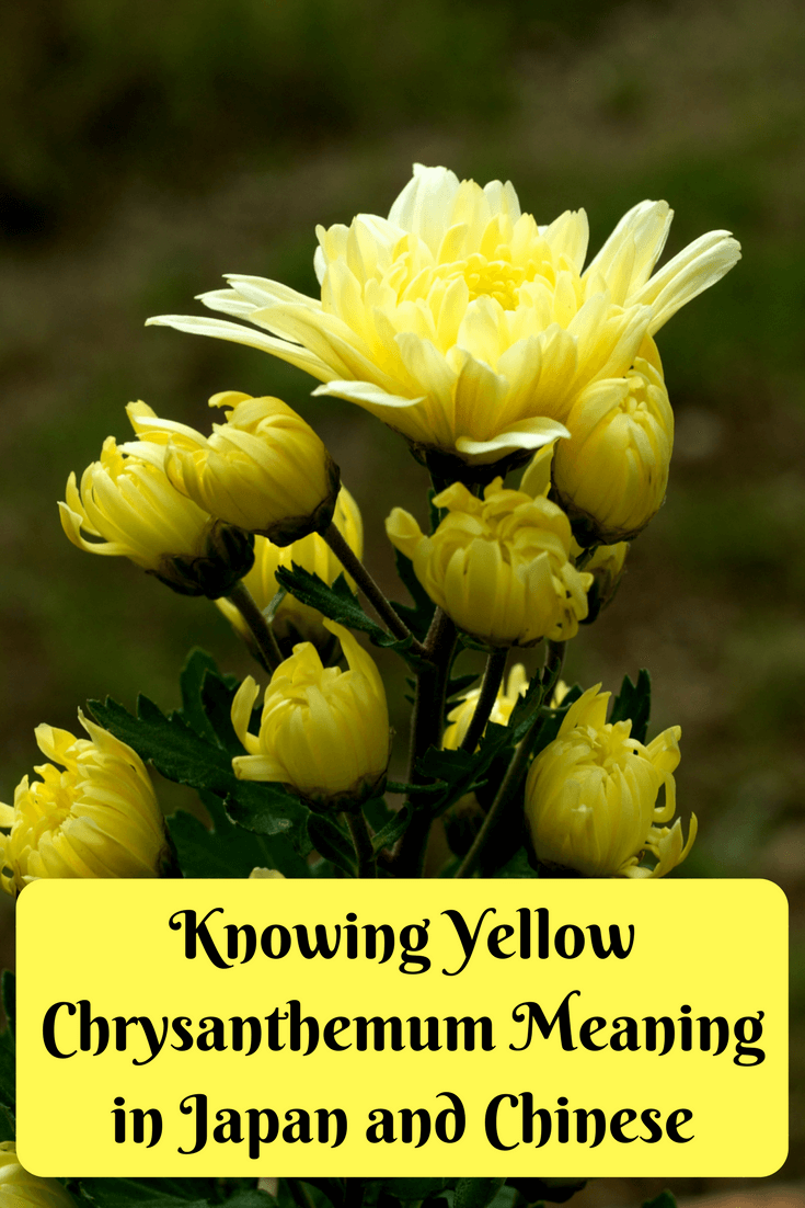 Knowing Yellow Chrysanthemum Meaning in Japan and Chinese