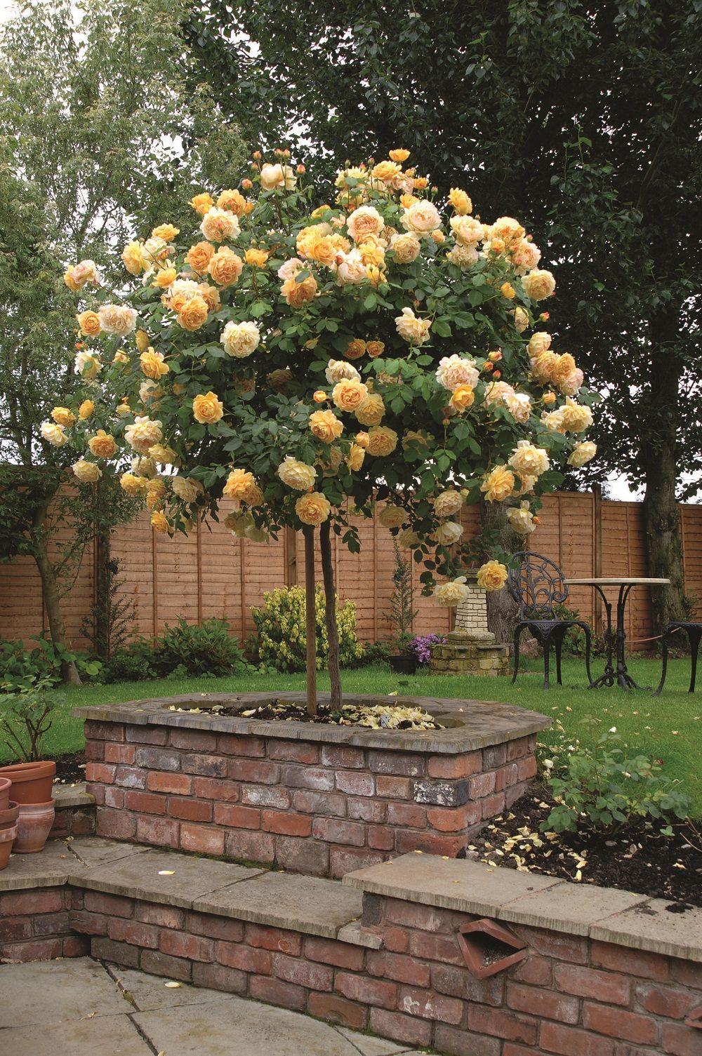 Golden Celebration Standard Ausgold Front Flower Beds Rose