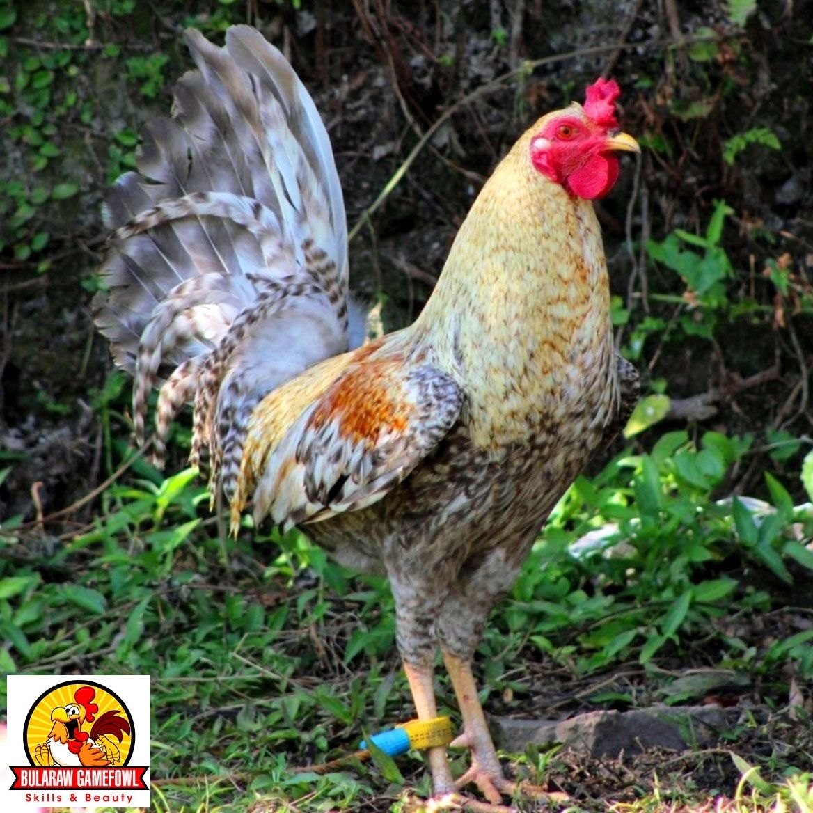 NUGAS - Bularaw's Dom Stag | My Gamefowl Pets | Chicken