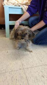 Shih Tzu Mix Dog For Adoption In Baltimore Maryland Milo Dog Adoption Kitten Adoption Pets