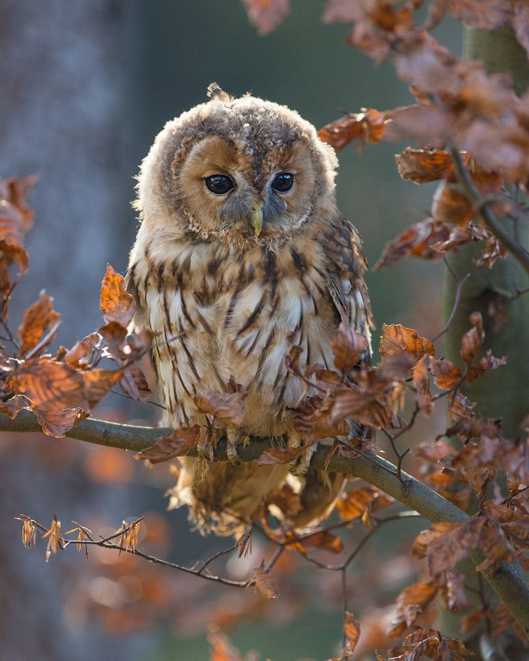 Young tawny owl (Strix aluco) perched among autumn leaves