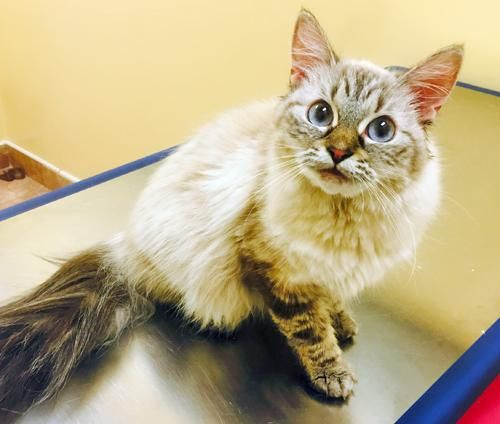 Adopt Stunning Siamese Long Hair, Our Olivia on Long