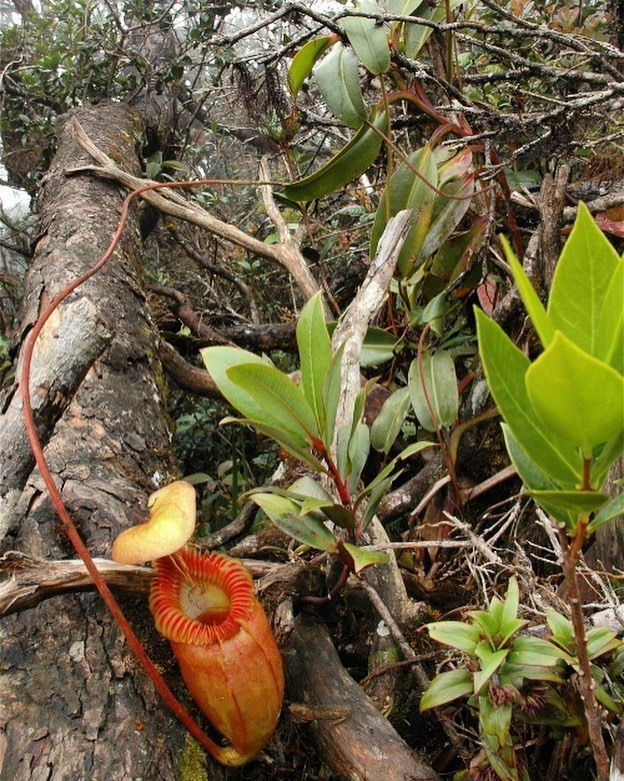 The very long tendrils on a large Nepenthes villosa on Mt Kinabalu.  #Nepenthes #villosa #nepenthesvillosa #nvillosa #botanist #plant #plants #nikon #pitcherplantproject #vscocam #vsco #greenhouse #rare #malaysia #kinabalu #kinabalupark #carnivorousplant #bbc #nationalgeographic #jeremiahharris #greenhouse #horticulture #californiacarnivores #carnivorousplants #carnivoroustagram #carnivorousplantsinthewild #carnivorousplantsofinstagram #flytrap #pitcherplants #pitcherplant #plantsofinstagram…