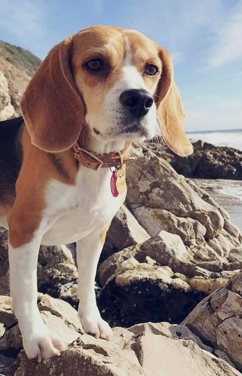 Majestic Good Boy Beagles Of Pinterest Beagle Puppy Beagle