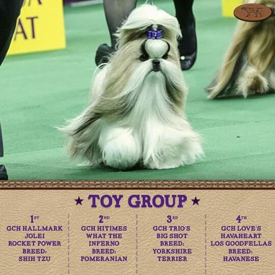 Rocket 1st Place Toy Group Westminister Kennel Club Dog Show