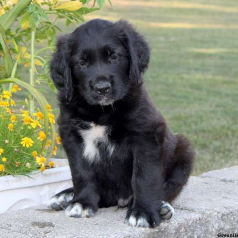 Golden Saint Puppies For Sale Greenfield Puppies Greenfield Puppies Puppies For Sale St Bernard Puppy