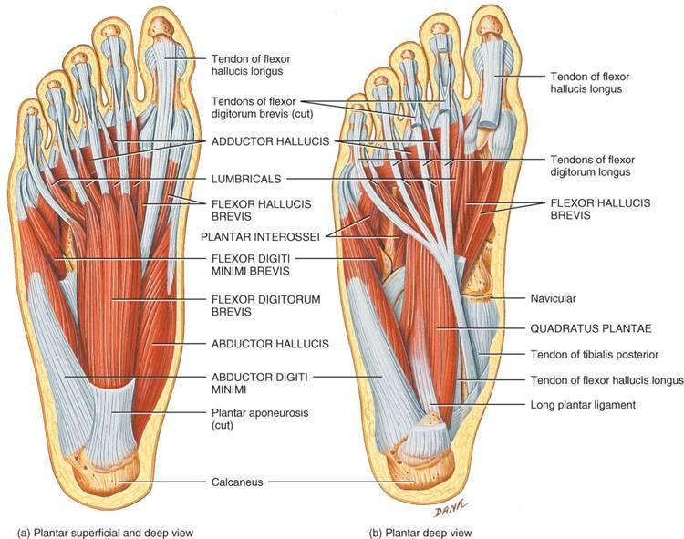 Resultado de imagen para imagenes de anatomia humana musculos y ...