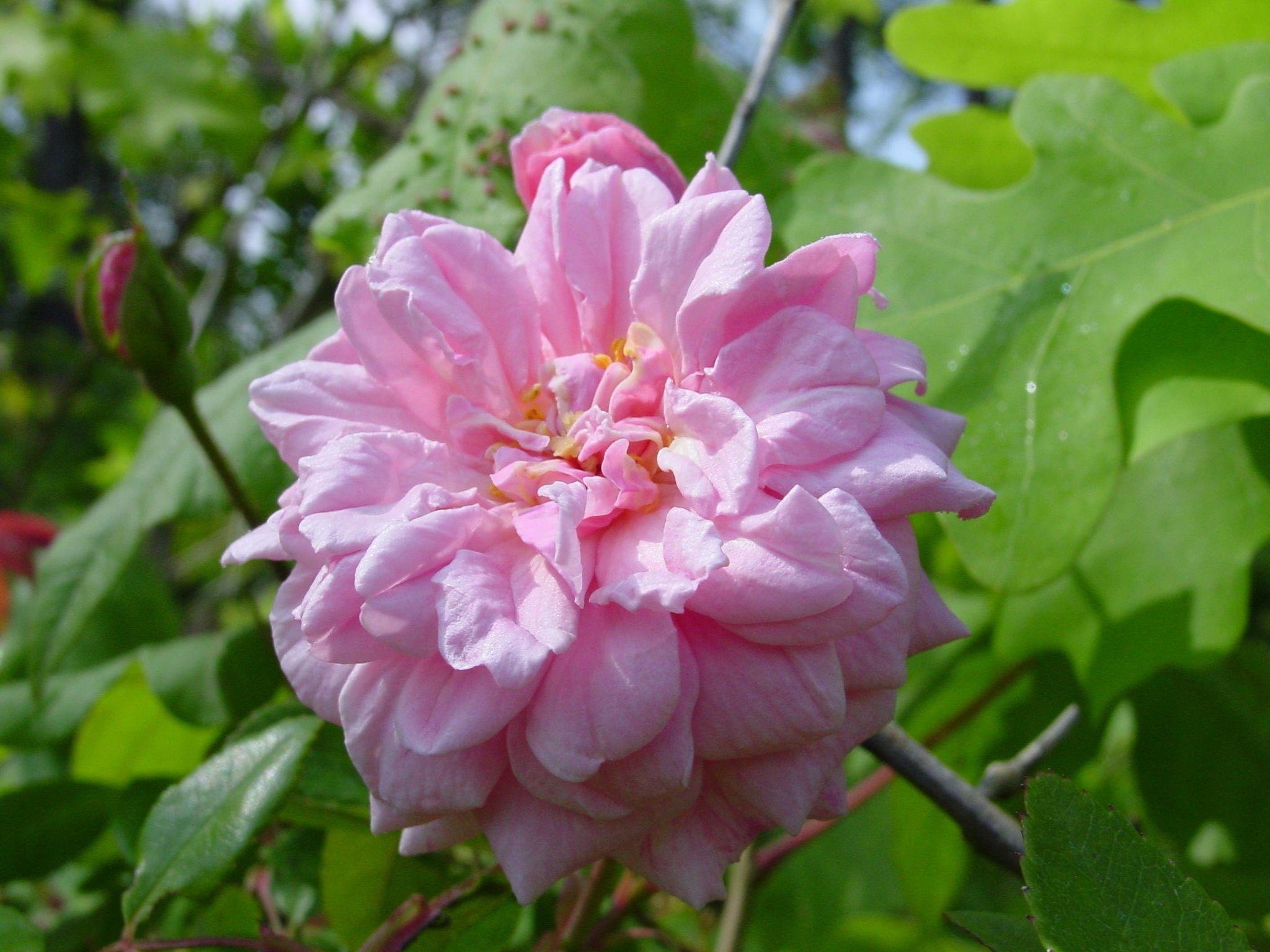 Most fragrant climbing rose rosa cecil brunner climbing