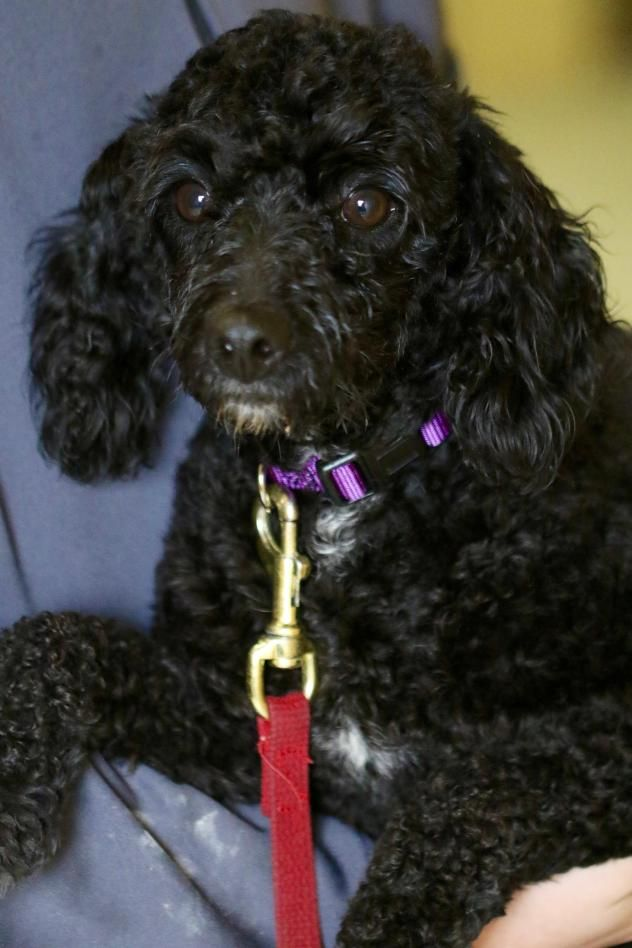 Adopt Bali On Petfinder Poodle Mix Dogs Fluffy Dogs Poodle Mix