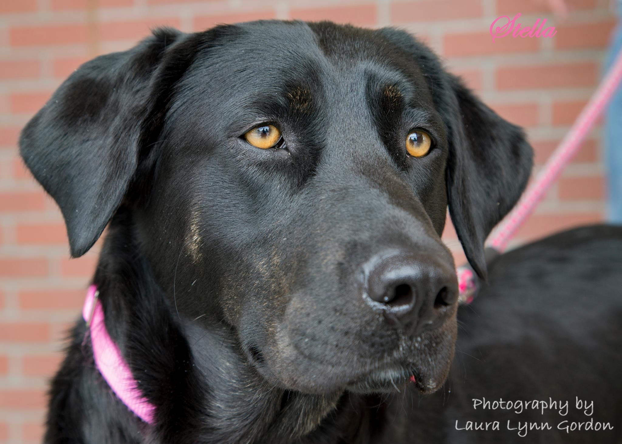 Labrador retriever dog for adoption in clovis ca adn