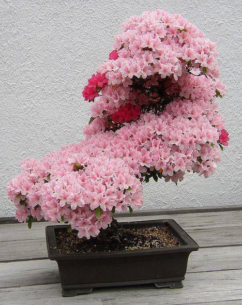Bonsai - Cherry Blossom