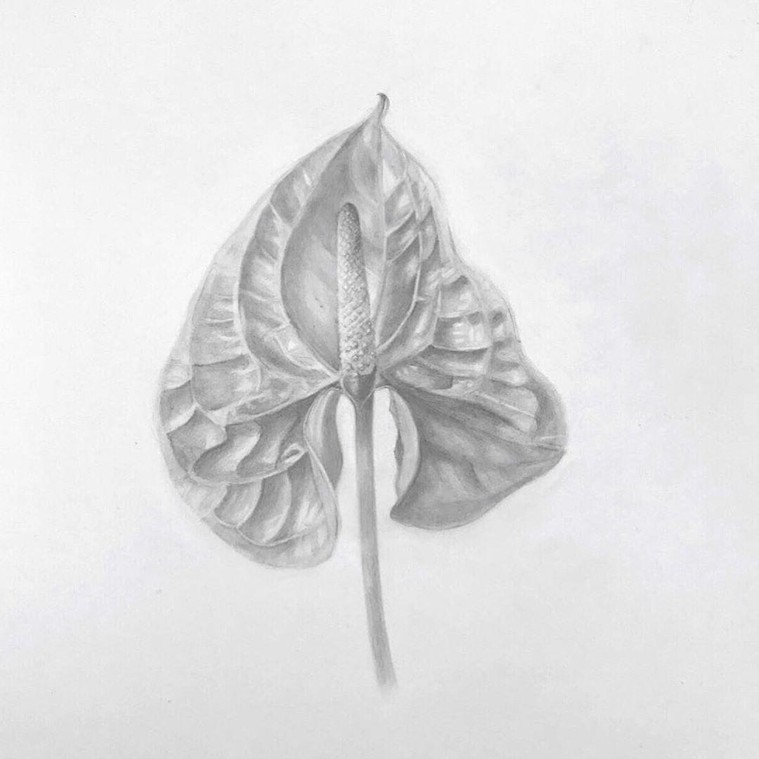 Jen On Instagram Anthurium In Graphite Done In My Botanical Art Class Botanicalart Botanical Art Graphite Drawings Botanical Art Art Class