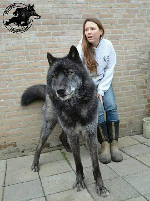 A Hybrid Wolf Beautiful Wolf Hybrid Dogs Hybrid Dogs Wolf Dog