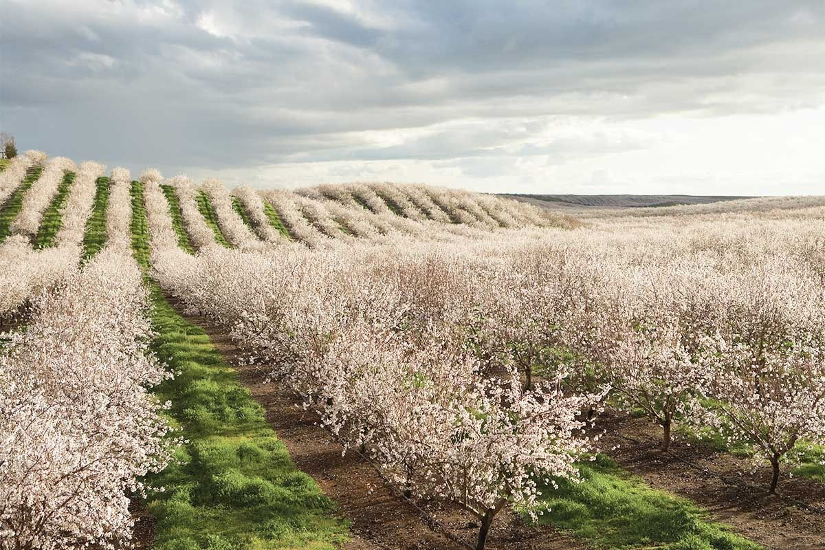 Learn More About The Almond Lifecyle California Almonds