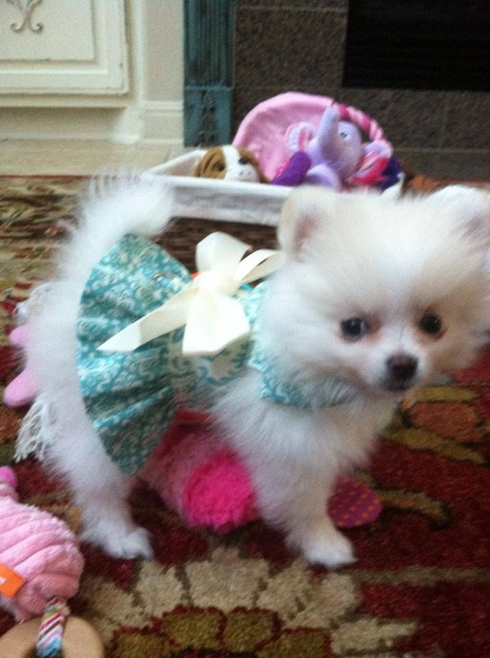 Pomeranian Puppies For Sale The Bomb Poms Pomeranians For Sale