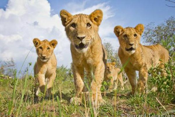 Câmera controlada remotamente tira fotos incríveis de leões