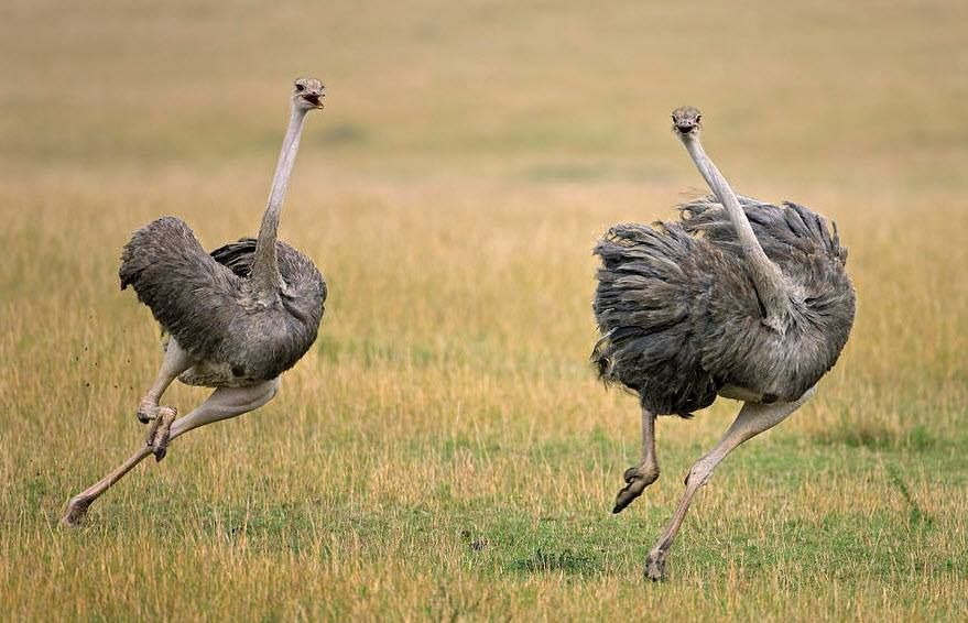 Ostrich Running From Lion