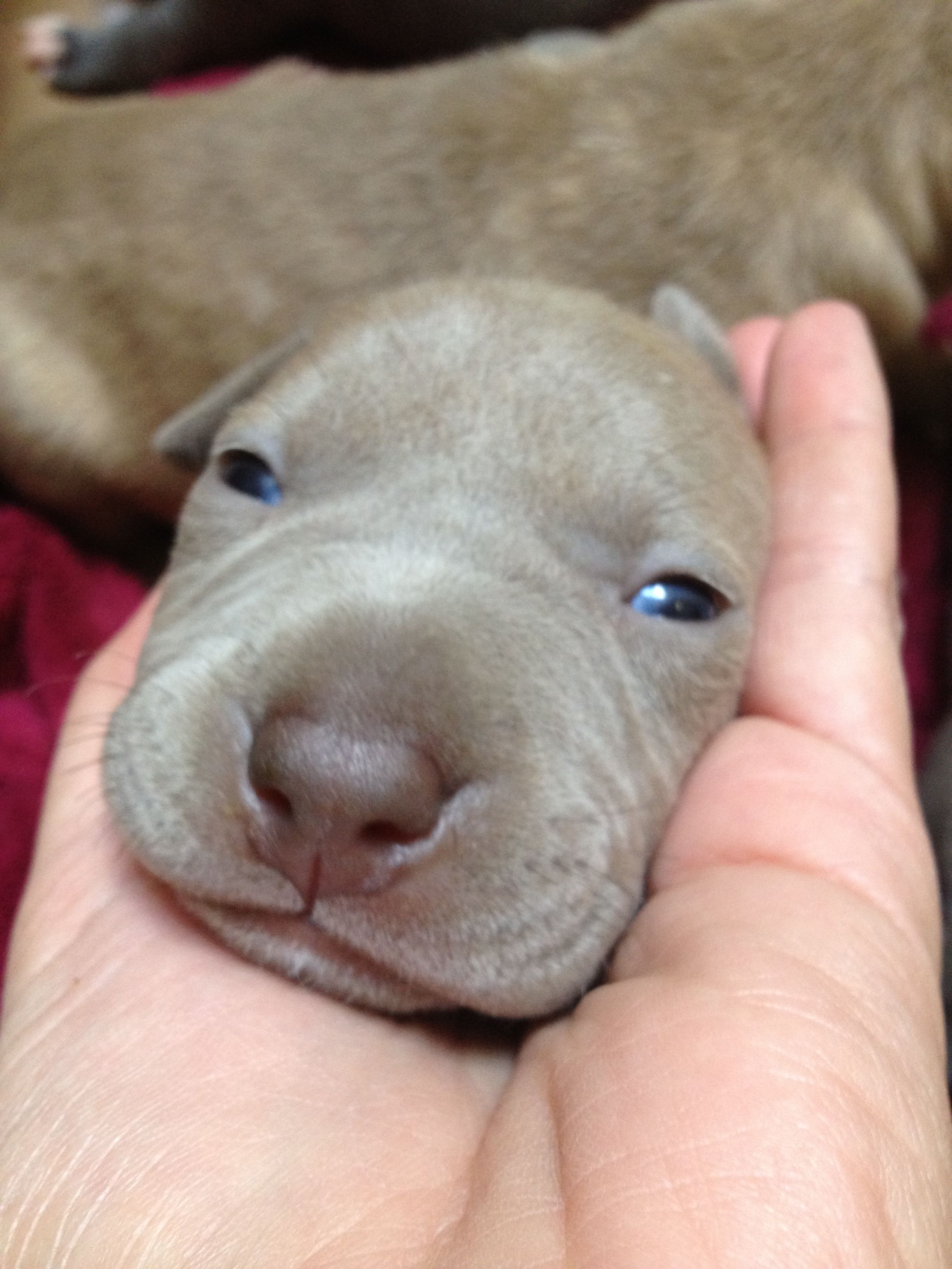 3 Week Old Chinese Sharpei Pitbull Mix Puppy Pitbull Mix Puppies